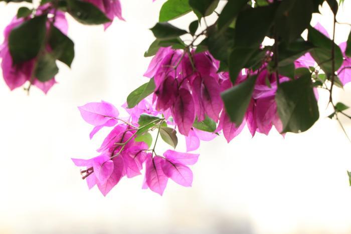 Ngôi nhà 5 tầng phủ kín hoa giấy tuyệt đẹp ở Hà Nội: Mùa hè mát rượi, hàng xóm còn bảo nhờ ông mà tôi được ngắm hoa đẹp ảnh 14