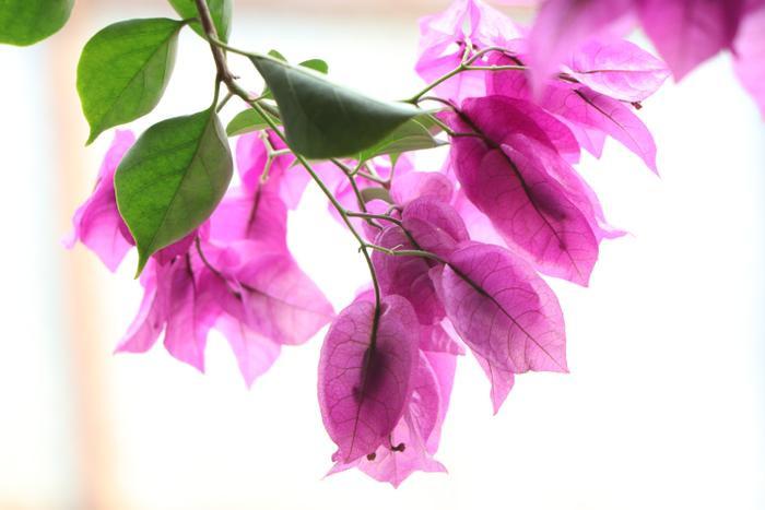 Hoa giấy giúp ngôi nhà của ông Tầng thêm thơ mộng.