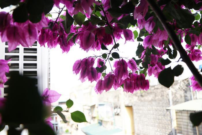 Ngôi nhà 5 tầng phủ kín hoa giấy tuyệt đẹp ở Hà Nội: Mùa hè mát rượi, hàng xóm còn bảo nhờ ông mà tôi được ngắm hoa đẹp ảnh 17