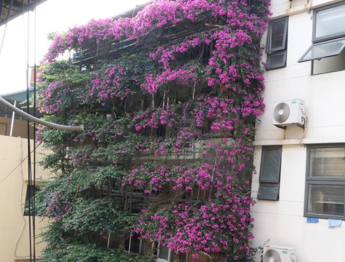 Ngôi nhà 5 tầng phủ kín hoa giấy tuyệt đẹp ở Hà Nội: Mùa hè mát rượi, hàng xóm còn bảo nhờ ông mà tôi được ngắm hoa đẹp ảnh 1