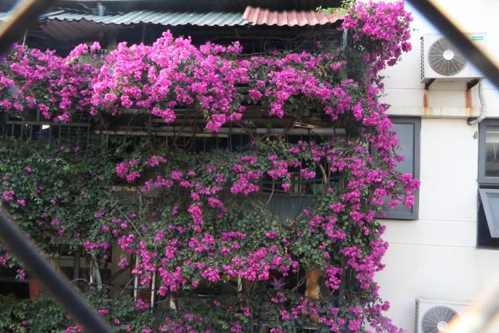 Ngôi nhà 5 tầng phủ kín hoa giấy tuyệt đẹp ở Hà Nội: Mùa hè mát rượi, hàng xóm còn bảo nhờ ông mà tôi được ngắm hoa đẹp ảnh 11