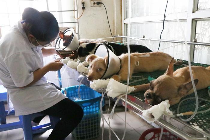 Các bác sĩ thú y đang chăm sóc cho những chú chó mèo bị sốc nhiệt.