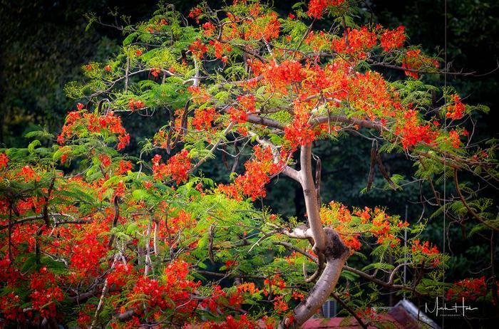 Hoa phượng nở rực đỏ một, khung trời học trò thơ mộng hơn bao giờ hết.