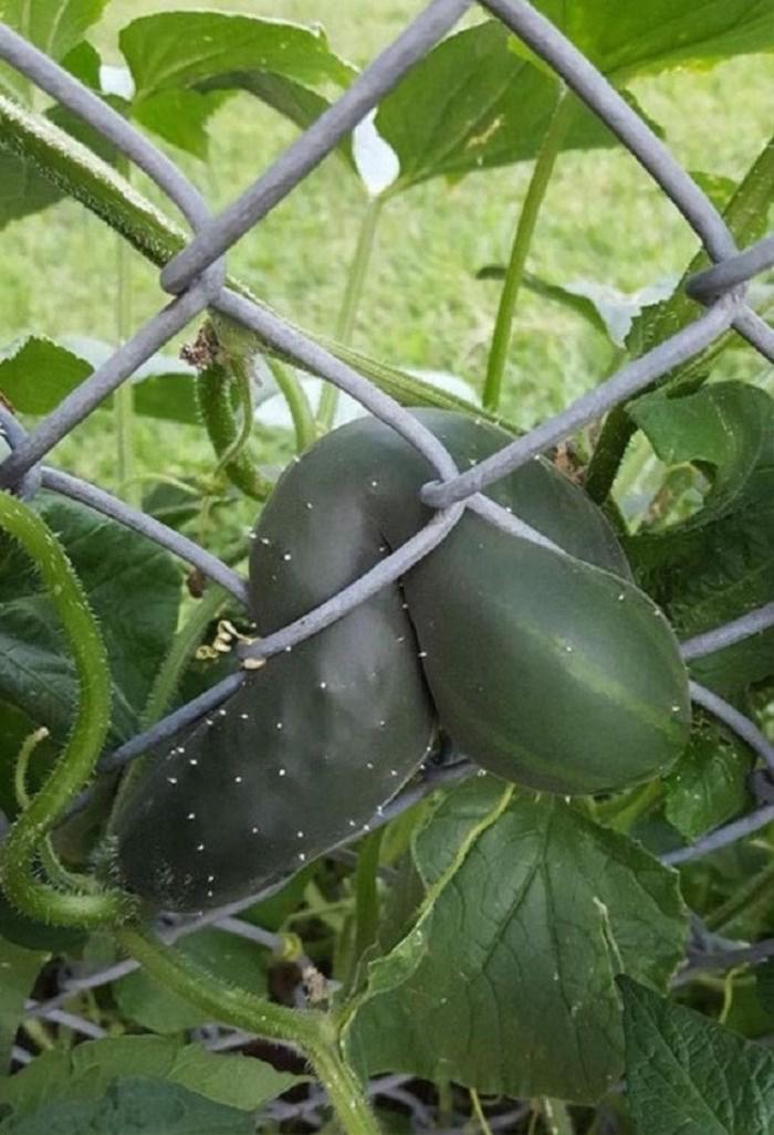 'Dở khóc dở cười' với những 'thảm họa' trái cây 'gốc nhà mình, quả nhà hàng xóm' khiến gia chủ ngậm ngùi Ảnh 7