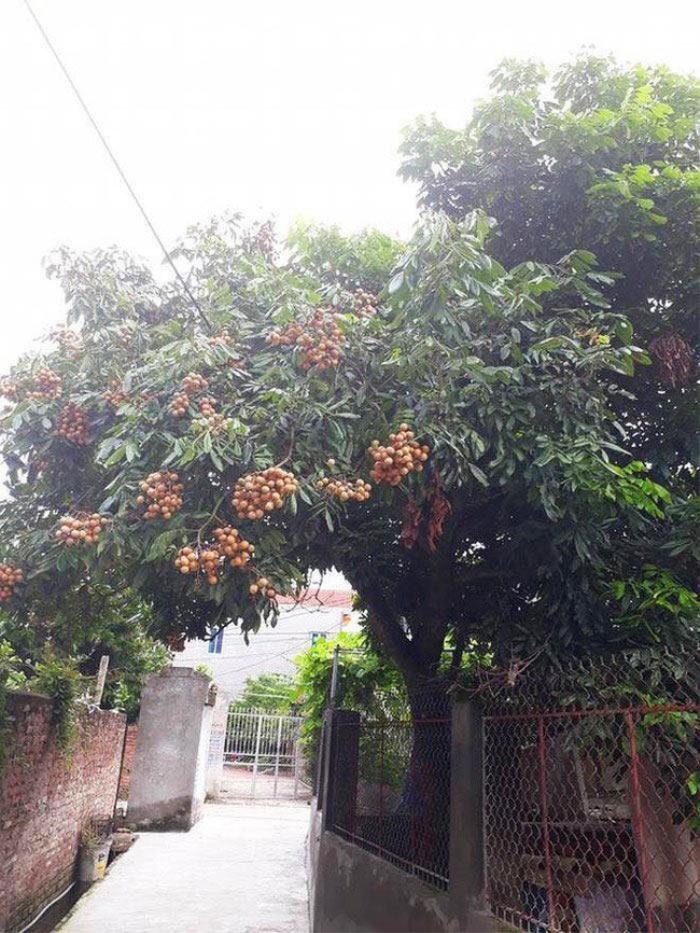 'Dở khóc dở cười' với những 'thảm họa' trái cây 'gốc nhà mình, quả nhà hàng xóm' khiến gia chủ ngậm ngùi Ảnh 6