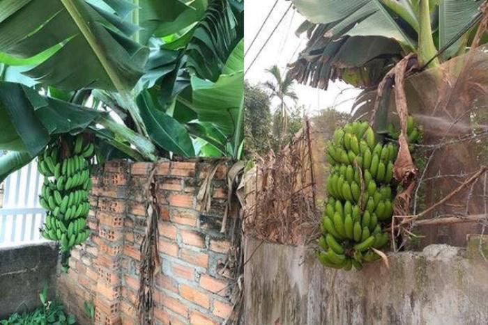 'Dở khóc dở cười' với những 'thảm họa' trái cây 'gốc nhà mình, quả nhà hàng xóm' khiến gia chủ ngậm ngùi Ảnh 2