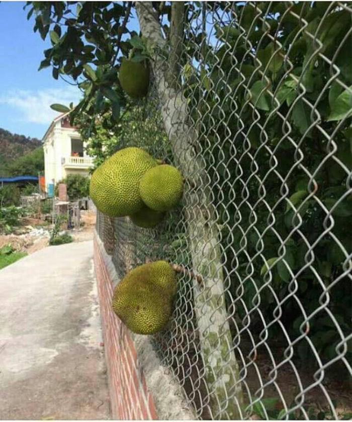 'Dở khóc dở cười' với những 'thảm họa' trái cây 'gốc nhà mình, quả nhà hàng xóm' khiến gia chủ ngậm ngùi Ảnh 3
