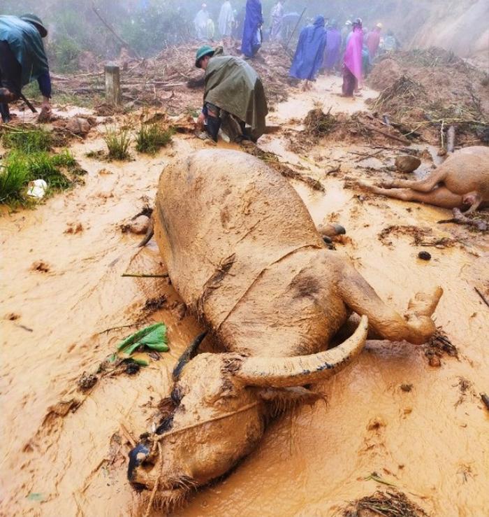 Sạt lở đất sau bão số 5 vùi lấp đàn trâu 8 con ở Nghệ An Ảnh 3