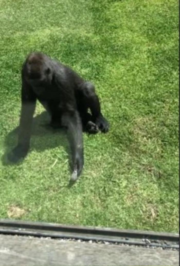Đáng yêu khoảnh khắc khỉ đột giúp đỡ một chú chim bị thương Ảnh 3