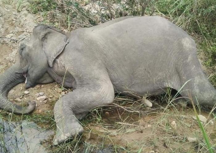 Chú voi cuối cùng ở khu vực Bắc Tây Nguyên đã chết Ảnh 1