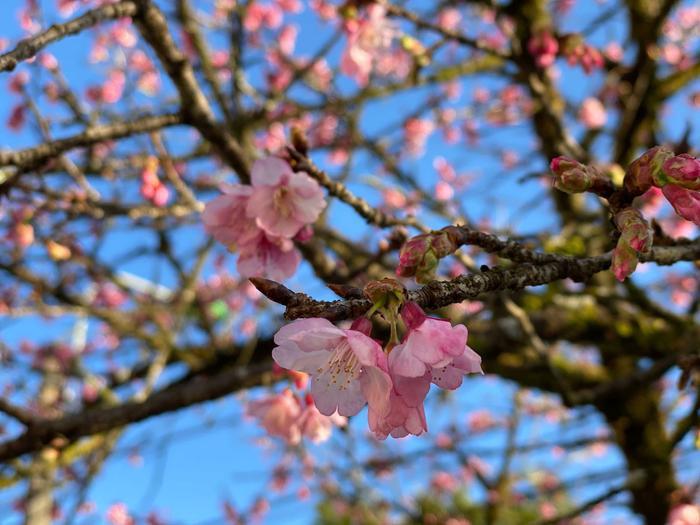 Hoa anh đào nở tuyệt đẹp giữa tiết trời giá lạnh ở Sa Pa Ảnh 1