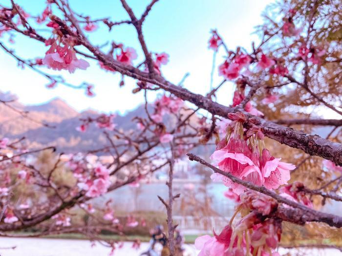 Hoa anh đào nở tuyệt đẹp giữa tiết trời giá lạnh ở Sa Pa Ảnh 3