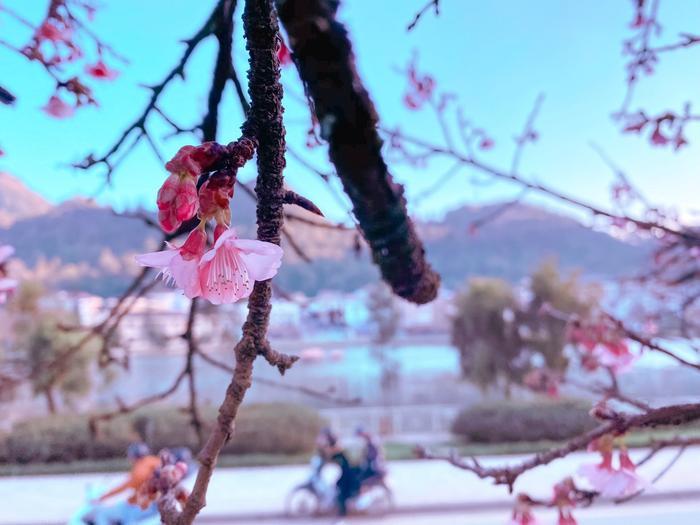 Hoa anh đào nở tuyệt đẹp giữa tiết trời giá lạnh ở Sa Pa Ảnh 8