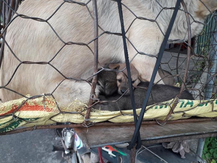 Xót xa hình ảnh chó mẹ cho đàn con bú trước khi bị đưa vào lò mổ Ảnh 3