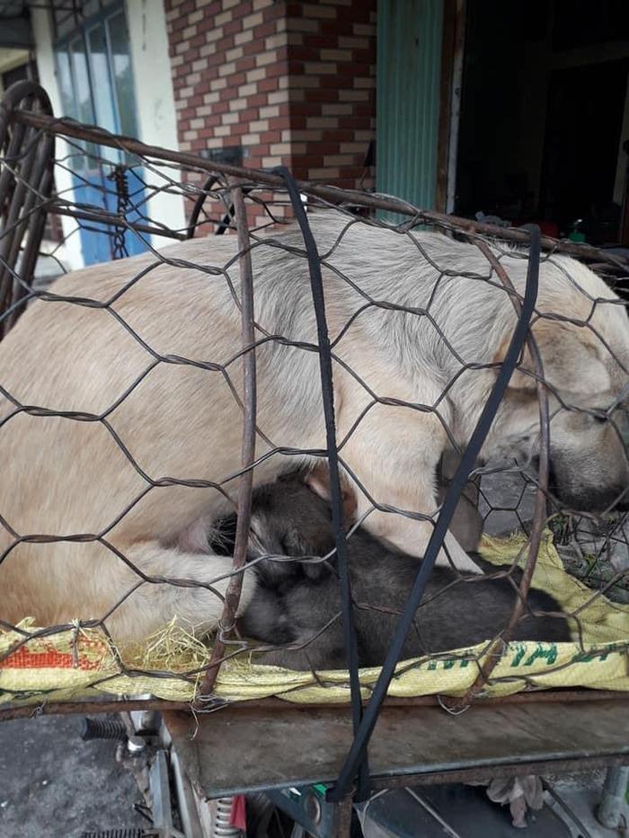 Xót xa hình ảnh chó mẹ cho đàn con bú trước khi bị đưa vào lò mổ Ảnh 4