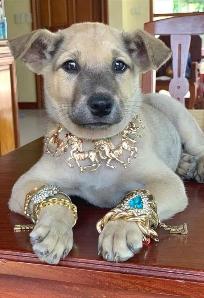 Ngày vía Thần Tài, chó cưng được chủ 'tậu' cho lắc vàng bạc triệu, sang chảnh nằm giữa nhà