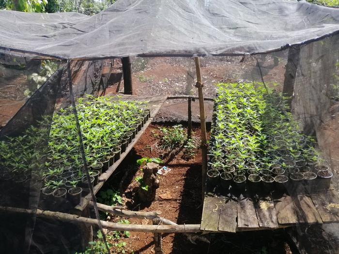 Hai anh em ruột trồng hơn 1500 cây cần sa trong rẫy cà phê Ảnh 3