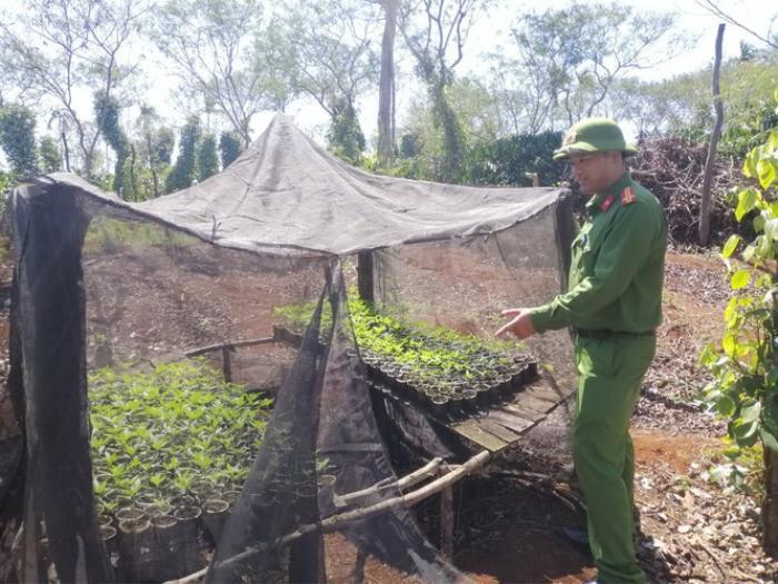 Hai anh em ruột trồng hơn 1500 cây cần sa trong rẫy cà phê Ảnh 2