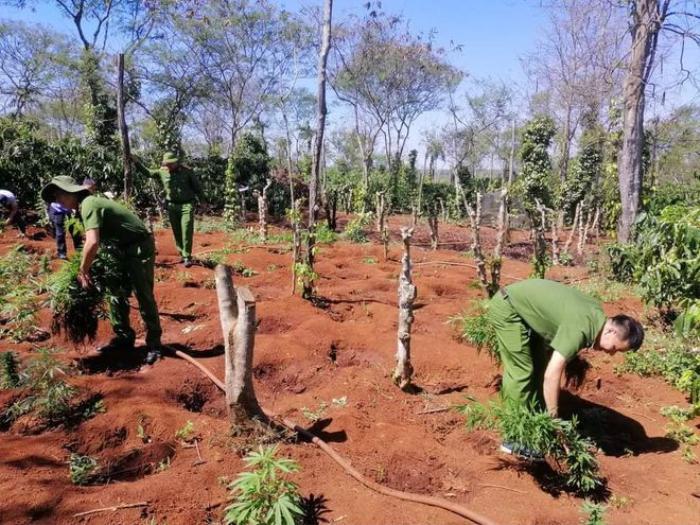 Hai anh em ruột trồng hơn 1500 cây cần sa trong rẫy cà phê Ảnh 1