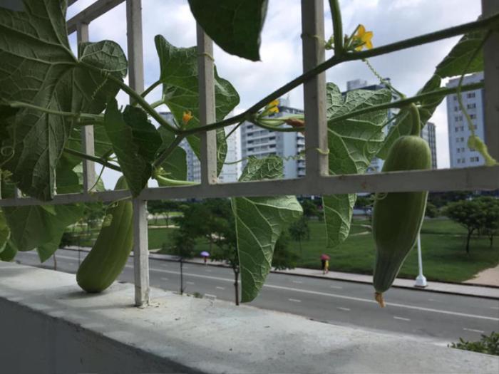 Sinh viên thi nhau khoe loạt ảnh chụp cây ăn quả tự trồng cực ngon mắt ngoài ban công ký túc xá Ảnh 4