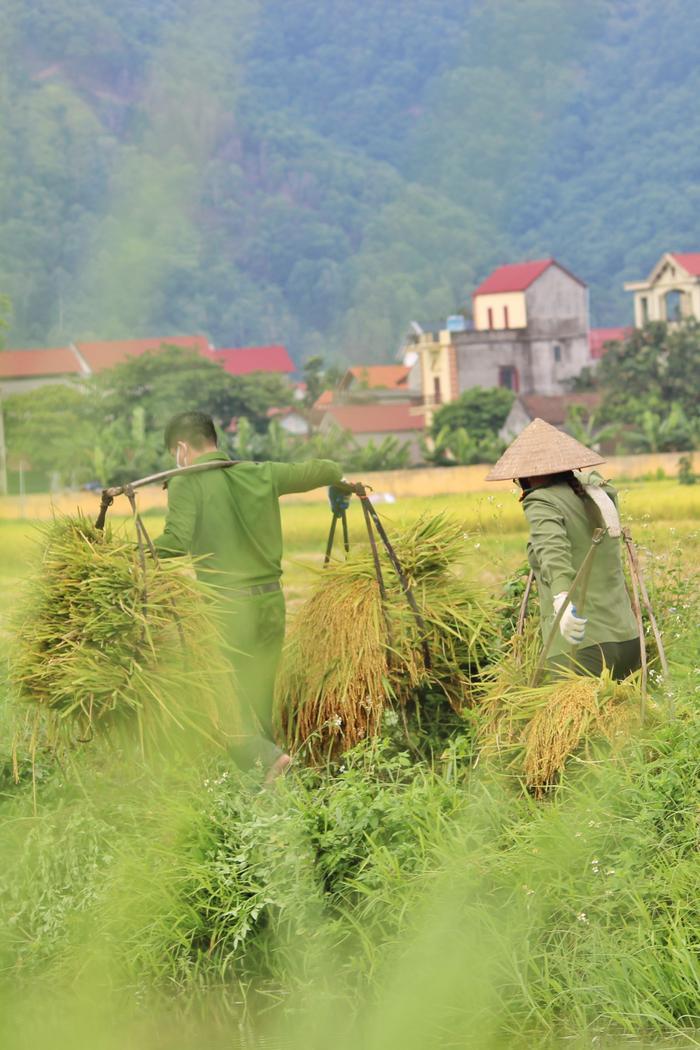 Bắc Giang: Lúa chín trĩu bông nhưng không có người gặt, công an xuống ruộng thu hoạch giúp dân Ảnh 8
