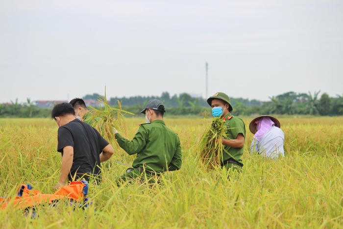 Bắc Giang: Lúa chín trĩu bông nhưng không có người gặt, công an xuống ruộng thu hoạch giúp dân Ảnh 2