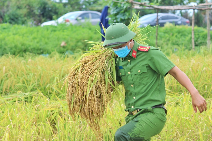 Bắc Giang: Lúa chín trĩu bông nhưng không có người gặt, công an xuống ruộng thu hoạch giúp dân Ảnh 6
