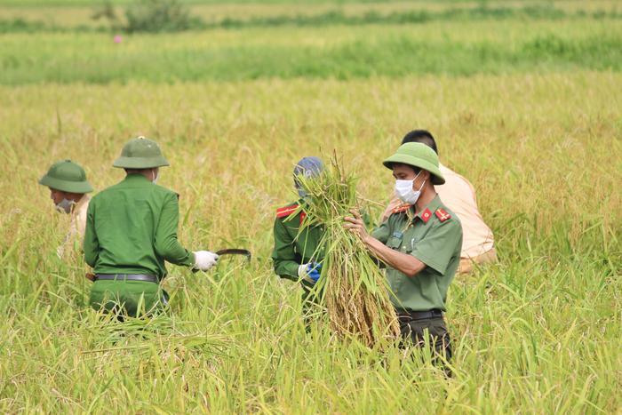 Bắc Giang: Lúa chín trĩu bông nhưng không có người gặt, công an xuống ruộng thu hoạch giúp dân Ảnh 1