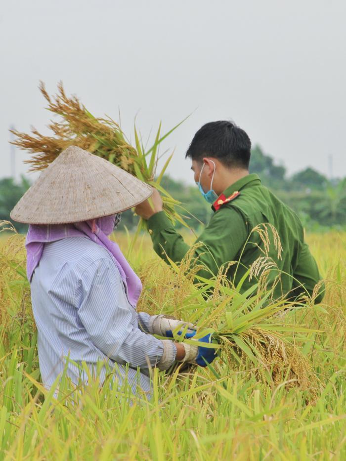 Bắc Giang: Lúa chín trĩu bông nhưng không có người gặt, công an xuống ruộng thu hoạch giúp dân Ảnh 5