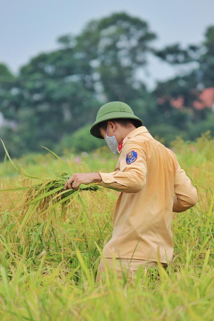 Bắc Giang: Lúa chín trĩu bông nhưng không có người gặt, công an xuống ruộng thu hoạch giúp dân Ảnh 4