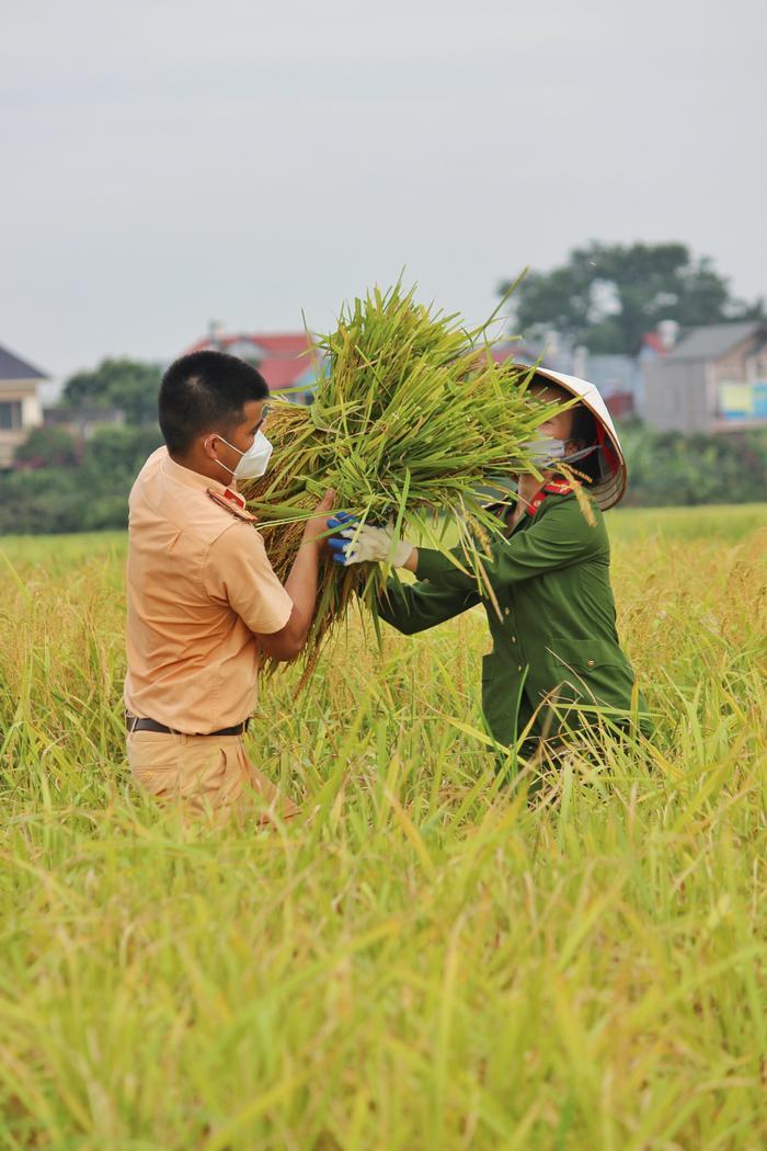 Bắc Giang: Lúa chín trĩu bông nhưng không có người gặt, công an xuống ruộng thu hoạch giúp dân Ảnh 3