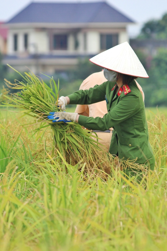 Bắc Giang: Lúa chín trĩu bông nhưng không có người gặt, công an xuống ruộng thu hoạch giúp dân Ảnh 11