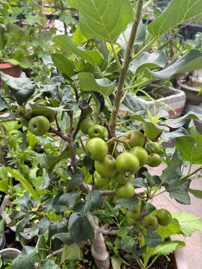 Cây táo được trồng trong khu phong tỏa nay đã có 'quả ngọt' Ảnh 1