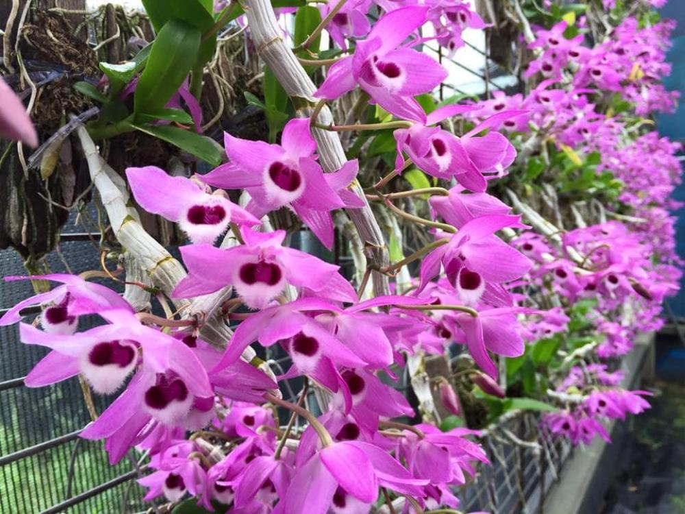 Khám phá vườn lan Berry đep, chất lượng ở Thái Bình Ảnh 1