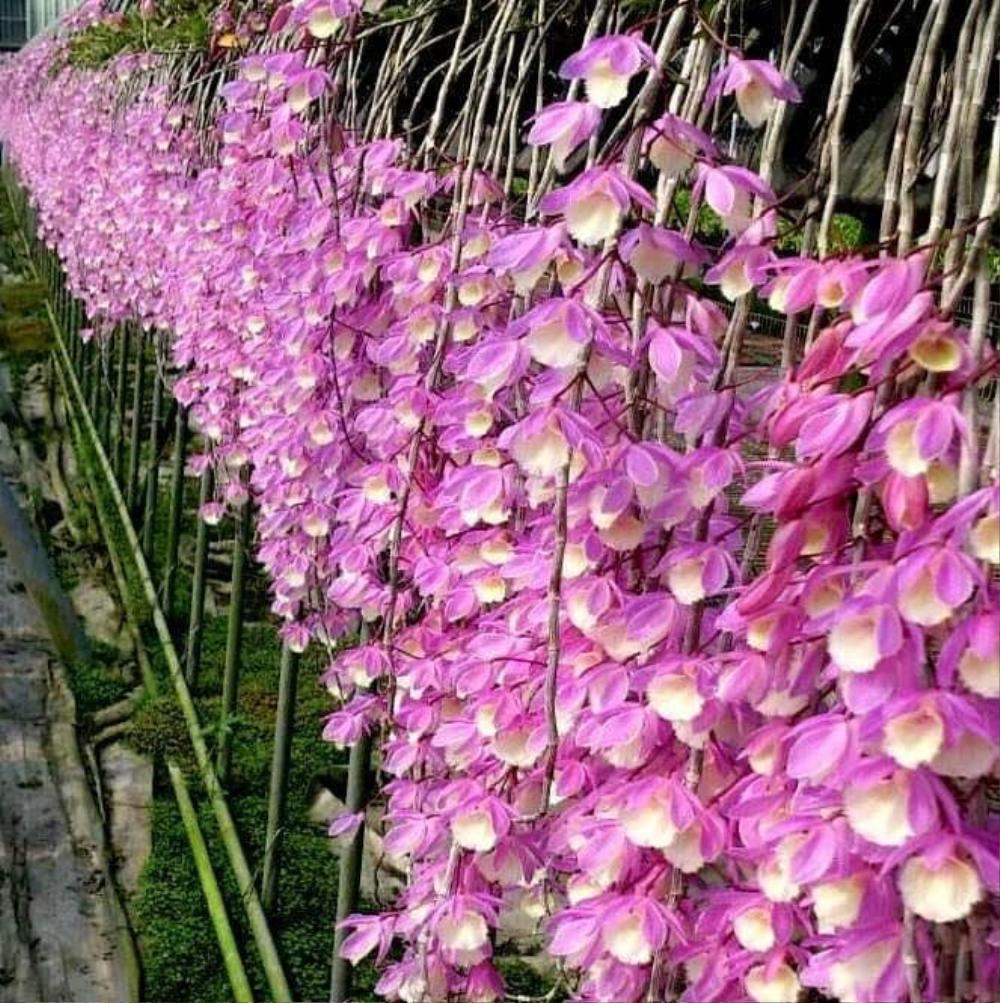 Khám phá vườn lan Berry đep, chất lượng ở Thái Bình Ảnh 2