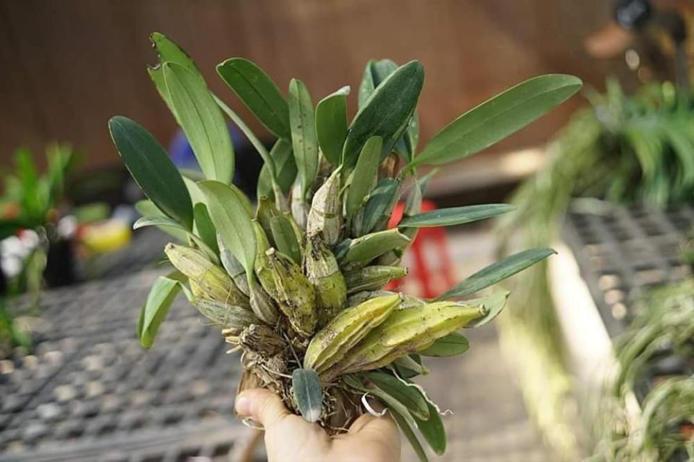 Khám phá vườn lan Berry đep, chất lượng ở Thái Bình Ảnh 5