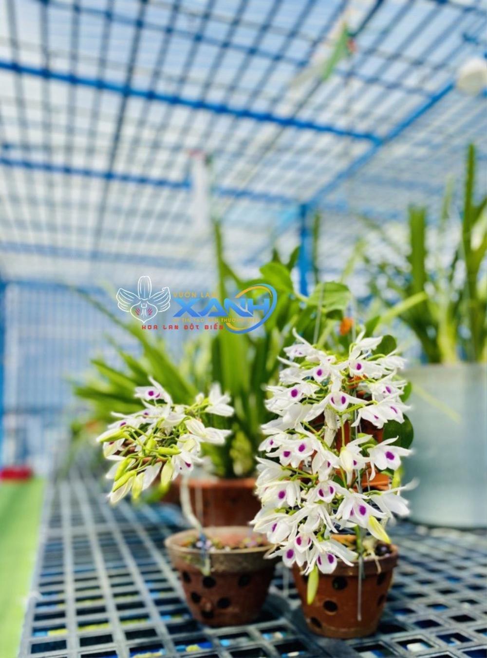 Những 'bí kíp' của nghệ nhân hoa lan Trần Tấn Hiền về xử lý cây lan và giá thể trước khi ghép Ảnh 4